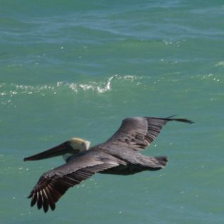cropped-pelican-in-flight.jpg