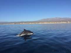 Dolphins in Sea of Cortez