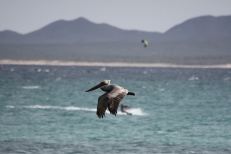 Pelican and kite